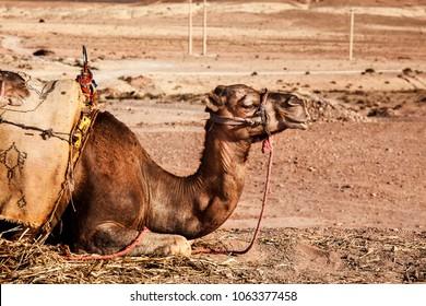 camel lying in the desert