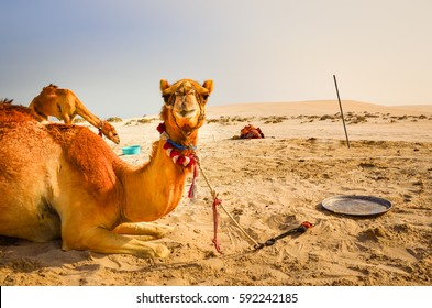 Camel lying in the desert looking into the camera with funny expression