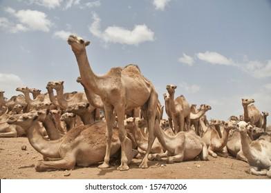Camel market in Somalia