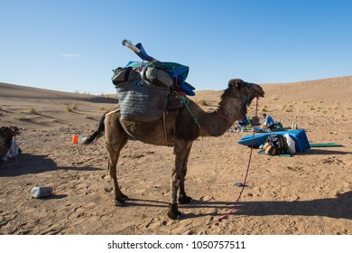 Camel in Marocco. Sahara desert. Nomad life style.