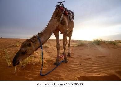 Camel in the morning in Merzouga desert, Morocco