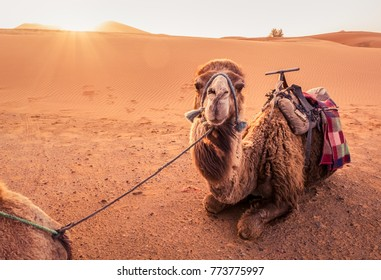 Camel, Morocco, Africa