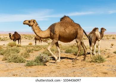 Camel in the Morocco desert