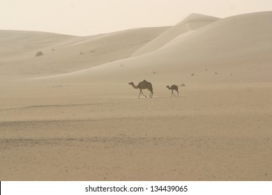 A camel mother and her calf wander the dunes of the Sahara Desert in Mali, Africa