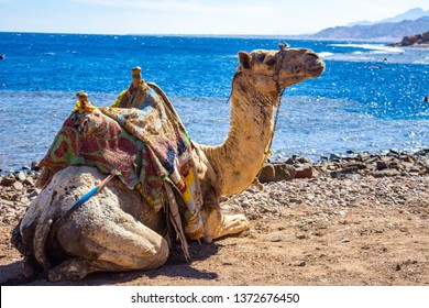 Camel muzzle. Portrait of a camel close up. Egypt, sunny summer day. Desert ship. The camel on background of desert and blue sky and sea.