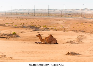 Camel with the newborn baby in the desert in United Arab Emirates