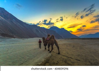Camel in Nubra Valley, Ladakh, India