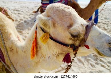 Camel on the beach in Hammamet, Tunisia