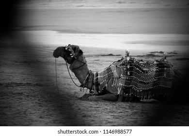 camel on beach , sun set, travle photography