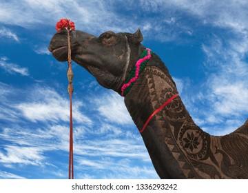 Camel on blue sky background at Bikaner Camel festival in Rajasthan state, India