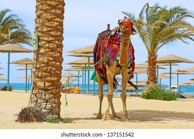 Camel on the egyptian beach of Hurghada