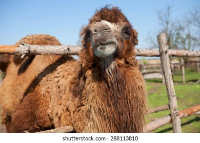 camel on the farm with wooden fence