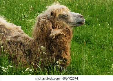 Camel on green grass, summer