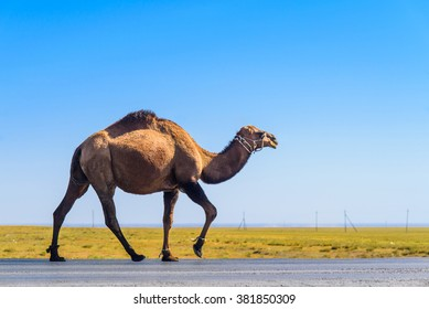 camel on a road
