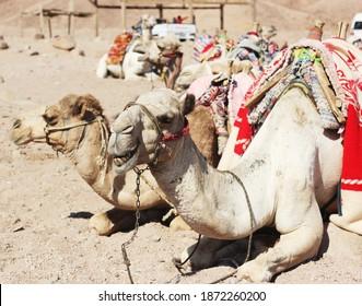 A camel on the sand
