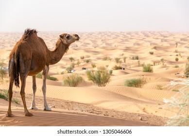 Camel on a sand dune looking out over the Sahara Desert near Douz, Tunisia