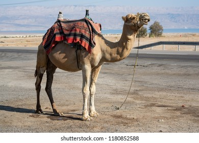 Camel on the streets of Israel tied on the ground. Dromedary mammal close to the desert looking straight