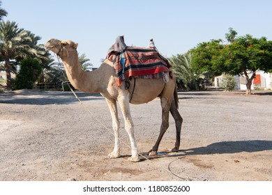 Camel on the streets of Israel tied on the ground with green trees behind. Dromedary mammal can be ride in Israel for a small tips