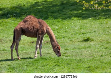 A camel with one hump grazing on spring grass in the sunshine.