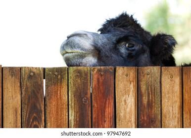 Camel peeking over a fence