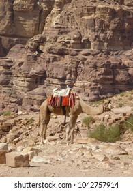 A camel in Petra in Jordan