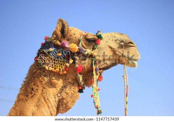 A camel with pom poms and colors at Kalo  Dungar or the Black Hill in the Kutch region of Gujarat, India