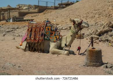 Camel portrait in Egypt.
