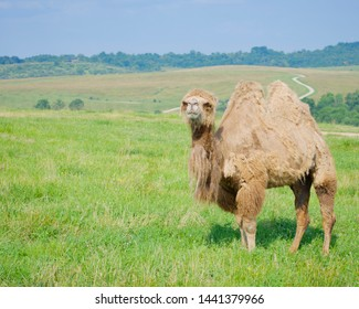 Camel posing on green rolling hill with green grass against a blue sky. Amber fields visible in the background. Camel shedding fur, isolated shot at the wilds in cumberland ohio.