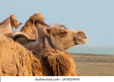 Camel in profile on the background of the steppe in Russia