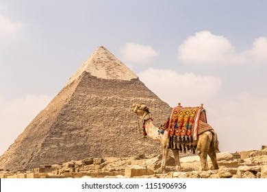 A camel with The Pyramids at the background, Cairo, Egypt.