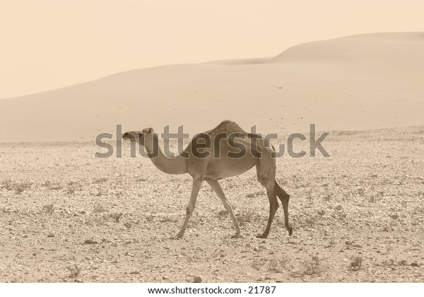 A camel in the Qatari desert, monochrome, sepia tinted, like an illustration in the old explorers' books.