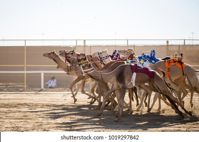 Camel race in qatar desert