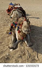 Camel reclining in desert