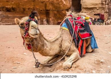Camel resting in the ancient city of Petra (Jordan)