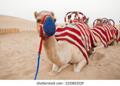 camel resting in the desert safari