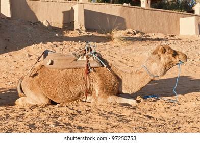 Camel resting at Erg Chebbi dunes, Morocco