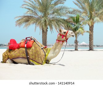 Camel resting in shadow on the beachin a sunny day