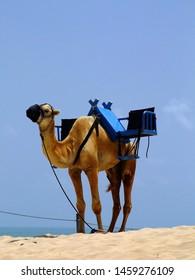 Camel to ride in the dunes of Genipabu, Natal, RIo Grande do Norte.