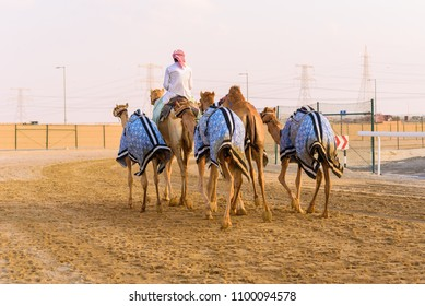 Camel rider going home with his flock of camels after camel race in Al Wathba near Abu Dhabi, United Arab Emirates.