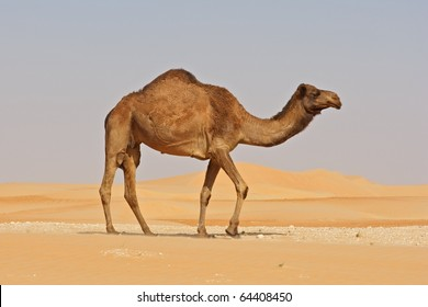 A camel in the Rub al Khali or Empty Quarter. Straddling Oman, Saudi Arabia, the UAE and Yemen, this is the largest sand desert in the world.