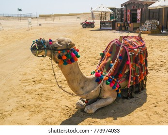 Camel with saddle is seating on the beach, Egypt