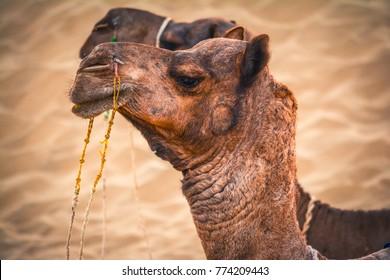 Camel safari in desert at sunset