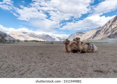 Camel in safari famous place at Nu bra Valley, Leh Ladakh city, India.