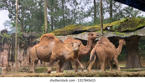 Camel in Safari Garden Indonesia