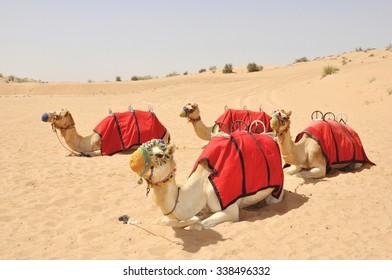 Camel safari, sitting camels in the desert of Dubai