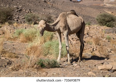 Camel of Sahara in Algeria Tadrart