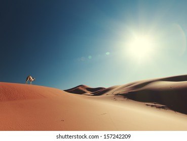 Camel in the Sahara desert, Morocco.