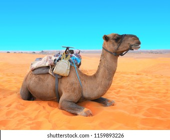 Camel in Sahara desert, Morocco. Camel dromedary resting lying on the sand. On blue sky background