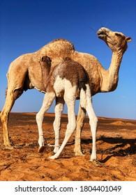 camel in sahara at sunrise