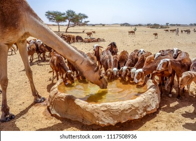 Camel and sheep drink water in Sudan desert